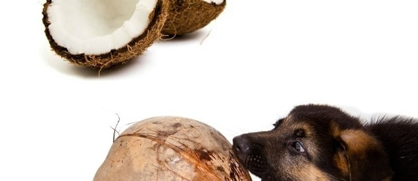 Getting Coconut Oil into Dog and Cat Food, and the story of an Old GSD. by Sarah Shilhavy Health Impact News. Coconut oil is well known for being rich in health benefits for people, but this product is also highly beneficial for dogs and cats as well, and for pretty much all .