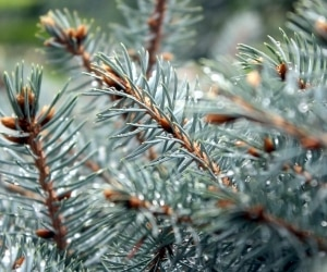 Selecting Your Christmas Tree