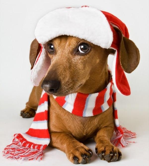 dachsund-scarf