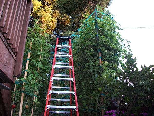 10 Ft ladder next to tomato plants