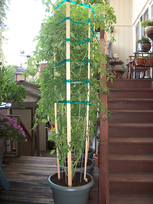 Tall Tomatoes in Planter