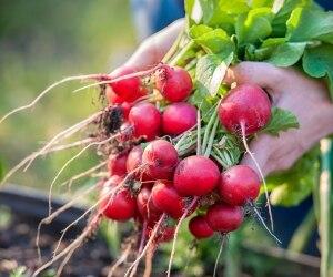 garden-harvest