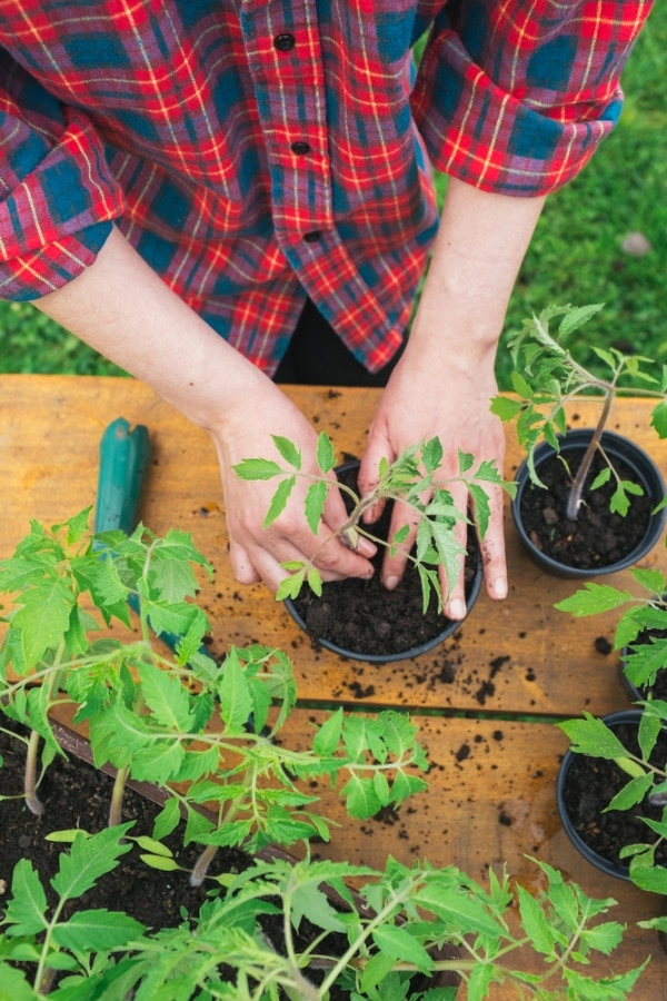 tips-for-growing-tomatoes_06