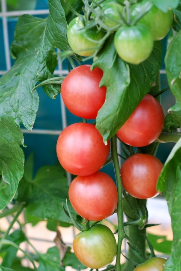 tips-for-growing-tomatoes_08