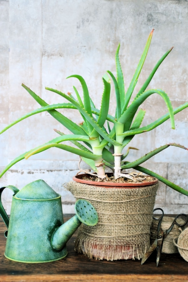 10 Easy Houseplants to Grow — Even With a Black Thumb! | thegoodstuff