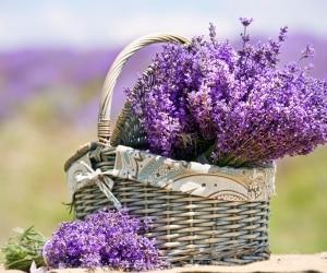 lavender-featured